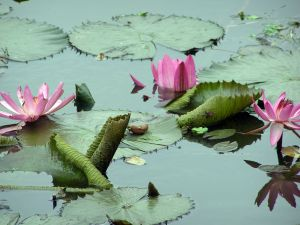1162959_water_lilies